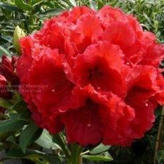 Рододендрон крупноцветковый Рэд Джек (Rhododendron Red Jack) (1)