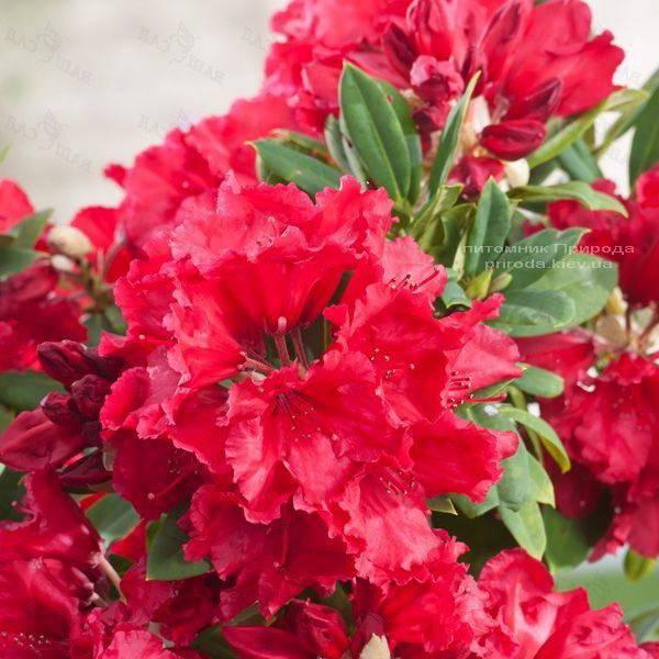Рододендрон крупноцветковый Рэд Джек (Rhododendron Red Jack) (2)