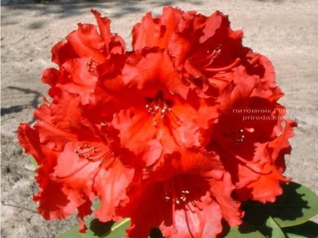 Рододендрон крупноцветковый Рэд Джек (Rhododendron Red Jack) (3)