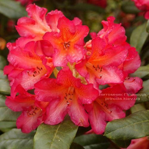 Рододендрон крупноцветковый Сцифокаликс (Rhododendron Scyphocalix) (1)