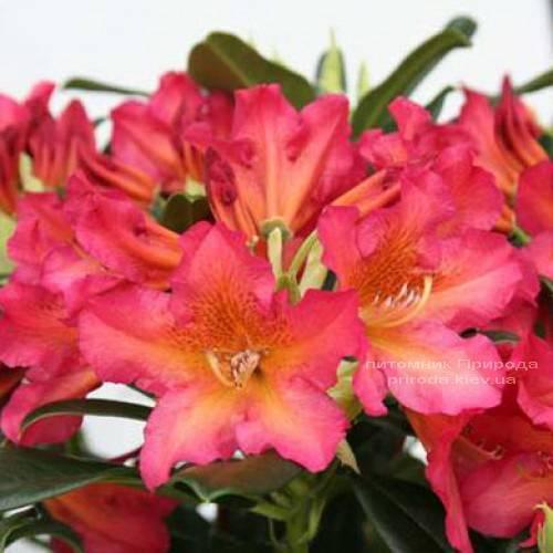 Рододендрон крупноцветковый Сцифокаликс (Rhododendron Scyphocalix) (2)
