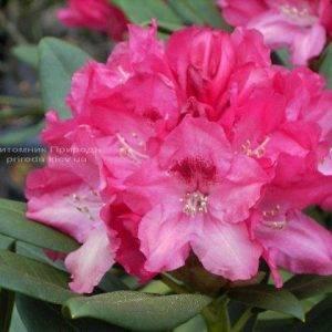 Рододендрон крупноцветковый Знидзи (Rhododendron Snezzy) (1)