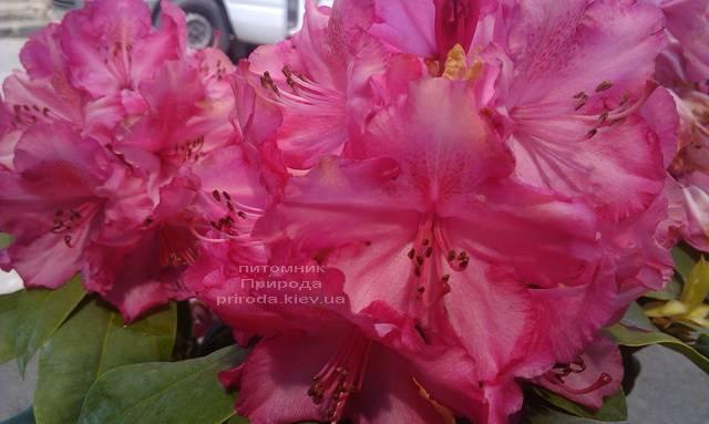 Рододендрон крупноцветковый Штернзаубер (Rhododendron Sternzauber) ФОТО (2)