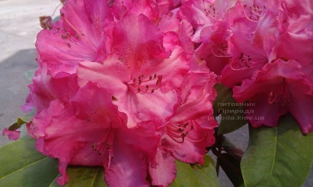 Рододендрон крупноцветковый Штернзаубер (Rhododendron Sternzauber) ФОТО (3)
