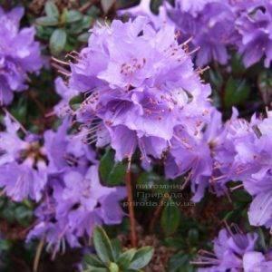 Рододендрон мелкоцветковый Блю Тит (Rhododendron Blue Tit) (1)