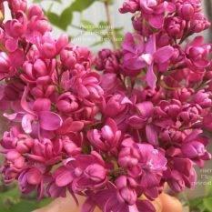 Сирень Богдан Хмельницкий (Syringa vulgaris Bogdan Khmelnitskiy) ФОТО Питомник растений Природа Priroda (2)