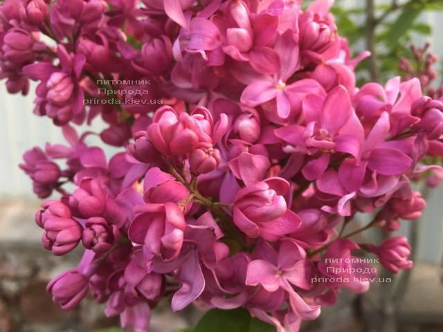 Сирень Богдан Хмельницкий (Syringa vulgaris Bogdan Khmelnitskiy) ФОТО Питомник растений Природа Priroda (3)