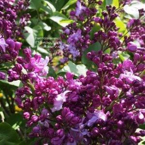 Сирень Эмиль Лемуан (Syringa vulgaris Emilie Lemoine) ФОТО Питомник растений Природа (Priroda) (1)