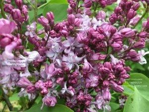 Сирень Эмиль Лемуан (Syringa vulgaris Emilie Lemoine) ФОТО Питомник растений Природа (Priroda) (2)