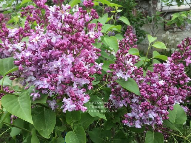Сирень Эмиль Лемуан (Syringa vulgaris Emilie Lemoine) ФОТО Питомник растений Природа (Priroda) (3)
