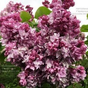 Сирень Кэтрин Хавемейер (Syringa vulgaris Kathrine Havemeyer) ФОТО Питомник растений Природа (Priroda) (5)