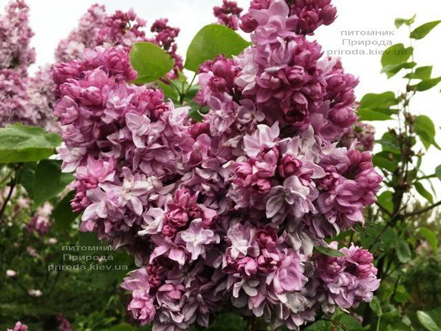 Сирень Кэтрин Хавемейер (Syringa vulgaris Kathrine Havemeyer) ФОТО Питомник растений Природа (Priroda) (5)