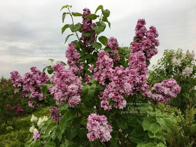 Сирень Кэтрин Хавемейер (Syringa vulgaris Kathrine Havemeyer) ФОТО Питомник растений Природа (Priroda) (8)