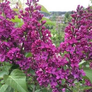 Сирень Людвиг Шпет (Syringa vulgaris Andenken an Ludwig Spath) ФОТО Питомник растений Природа (Priroda) (5)