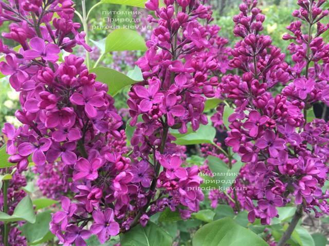 Сирень Людвиг Шпет (Syringa vulgaris Andenken an Ludwig Spath) ФОТО Питомник растений Природа (Priroda) (6)
