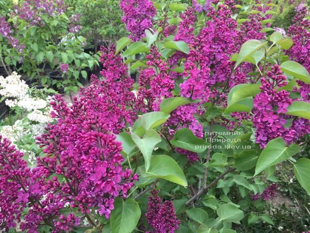 Сирень Людвиг Шпет (Syringa vulgaris Andenken an Ludwig Spath) ФОТО Питомник растений Природа (Priroda) (7)