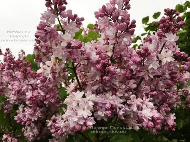 Сирень Мадам Антуан Бюхнер (Syringa vulgaris Mme Antoine Buchner) ФОТО Питомник растений Природа (Priroda) (11)