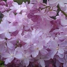Сирень Мадам Антуан Бюхнер (Syringa vulgaris Mme Antoine Buchner) ФОТО Питомник растений Природа (Priroda) (9)