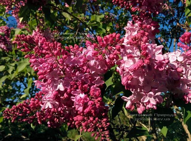 Сирень Маршал Фош (Syringa vulgaris Marchal Foch) ФОТО Питомник растений Природа (Priroda) (14)