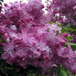 Сирень Маршал Фош (Syringa vulgaris Marchal Foch) ФОТО Питомник растений Природа (Priroda) (16)