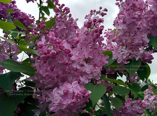 Сирень Маршал Фош (Syringa vulgaris Marchal Foch) ФОТО Питомник растений Природа (Priroda) (17)