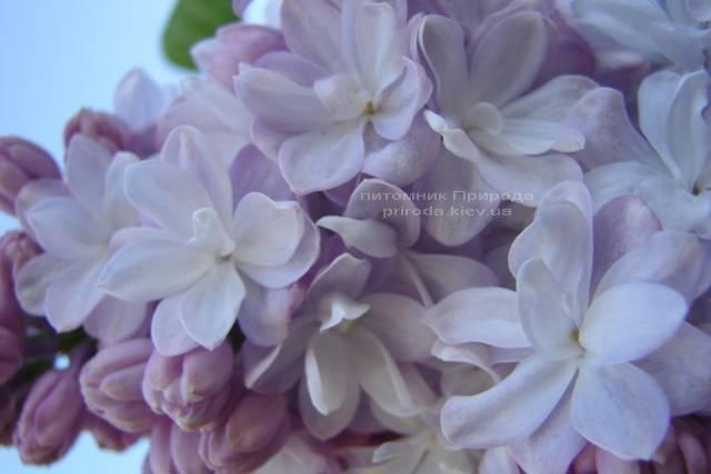 Сирень Мишель Бюхнер (Syringa vulgaris Michel Buchner) ФОТО Питомник растений Природа (Priroda) (11)