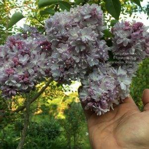 Сирень Мишель Бюхнер (Syringa vulgaris Michel Buchner) ФОТО Питомник растений Природа (Priroda) (16)