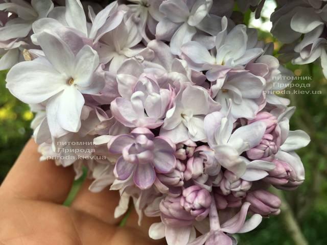 Сирень Мишель Бюхнер (Syringa vulgaris Michel Buchner) ФОТО Питомник растений Природа (Priroda) (19)