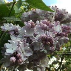 Сирень Мишель Бюхнер (Syringa vulgaris Michel Buchner) ФОТО Питомник растений Природа (Priroda) (21)