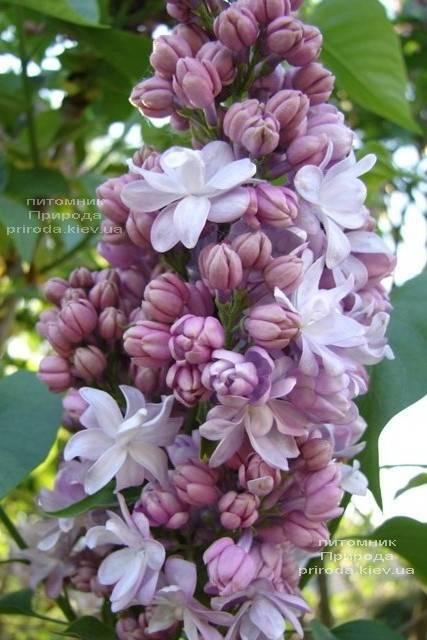 Сирень Мишель Бюхнер (Syringa vulgaris Michel Buchner) ФОТО Питомник растений Природа (Priroda) (5)