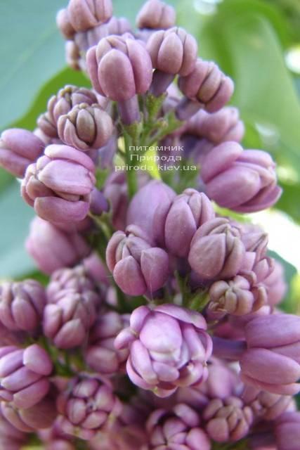 Сирень Мишель Бюхнер (Syringa vulgaris Michel Buchner) ФОТО Питомник растений Природа (Priroda) (6)