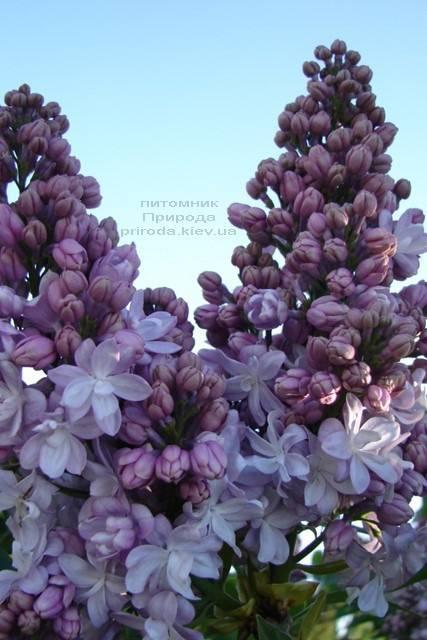 Сирень Мишель Бюхнер (Syringa vulgaris Michel Buchner) ФОТО Питомник растений Природа (Priroda) (8)