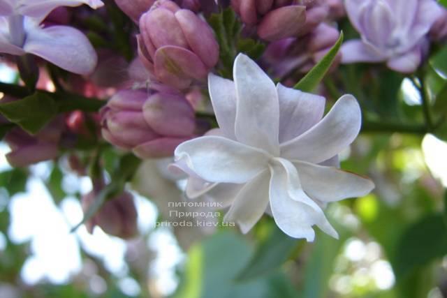 Сирень Мишель Бюхнер (Syringa vulgaris Michel Buchner) ФОТО Питомник растений Природа (Priroda) (9)