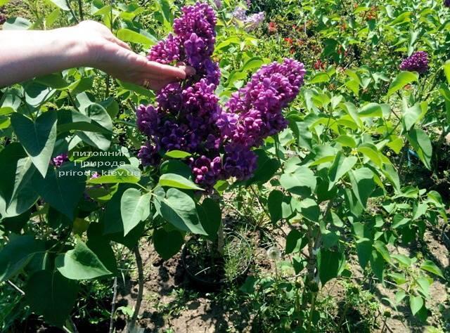 Сирень Мрия (Мечта) (Syringa vulgaris Mrija) ФОТО Питомник растений Природа (Priroda) (3)