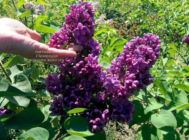 Сирень Мрия (Мечта) (Syringa vulgaris Mrija) ФОТО Питомник растений Природа (Priroda) (4)