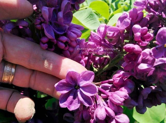 Сирень Мрия (Мечта) (Syringa vulgaris Mrija) ФОТО Питомник растений Природа (Priroda) (5)
