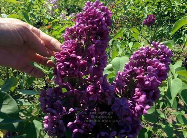 Сирень Мрия (Мечта) (Syringa vulgaris Mrija) ФОТО Питомник растений Природа (Priroda) (6)