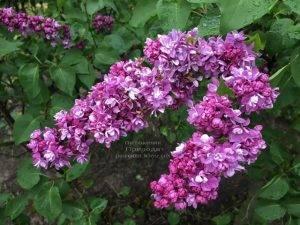 Сирень Огни Донбасса (Syringa vulgaris Ogni Donbassa) ФОТО Питомник растений Природа (Priroda) (11)