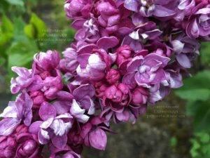 Сирень Огни Донбасса (Syringa vulgaris Ogni Donbassa) ФОТО Питомник растений Природа (Priroda) (12)