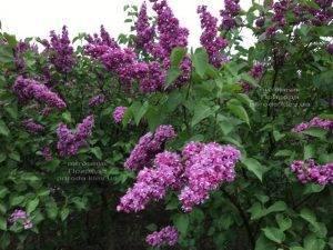 Сирень Огни Донбасса (Syringa vulgaris Ogni Donbassa) ФОТО Питомник растений Природа (Priroda) (14)