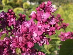 Сирень Огни Донбасса (Syringa vulgaris Ogni Donbassa) ФОТО Питомник растений Природа (Priroda) (6)