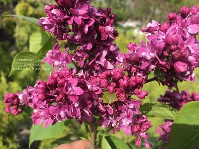 Сирень Огни Донбасса (Syringa vulgaris Ogni Donbassa) ФОТО Питомник растений Природа (Priroda) (7)
