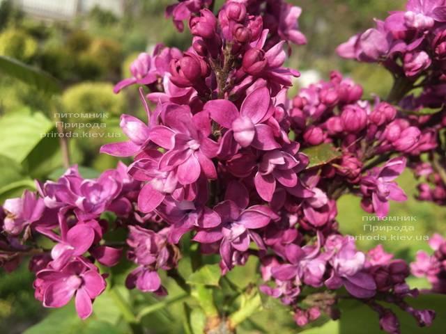 Сирень Огни Донбасса (Syringa vulgaris Ogni Donbassa) ФОТО Питомник растений Природа (Priroda) (8)