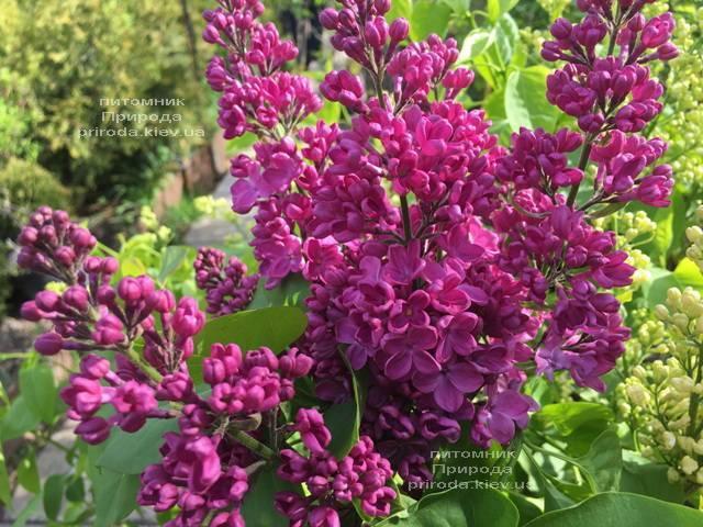 Сирень Полтава (Syringa vulgaris Poltava) ФОТО Питомник растений Природа (Priroda) (1)