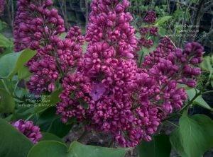 Сирень Полтава (Syringa vulgaris Poltava) ФОТО Питомник растений Природа (Priroda) (5)