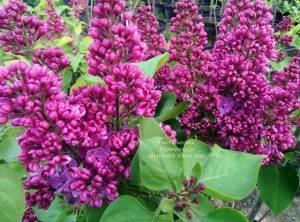 Сирень Полтава (Syringa vulgaris Poltava) ФОТО Питомник растений Природа (Priroda) (6)
