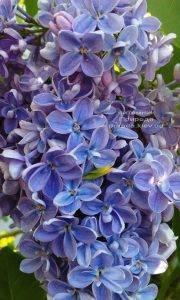 Сирень Президент Греви (Syringa President Grevy) ФОТО Питомник растений Природа (Priroda) (3)