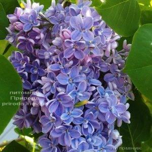 Сирень Президент Греви (Syringa President Grevy) ФОТО Питомник растений Природа (Priroda) (4)