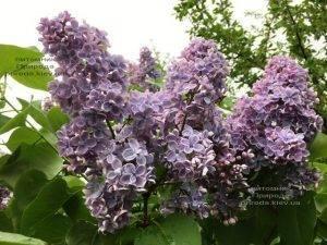 Сирень Президент Греви (Syringa President Grevy) ФОТО Питомник растений Природа (Priroda) (5)
