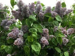 Сирень Президент Греви (Syringa President Grevy) ФОТО Питомник растений Природа (Priroda) (6)